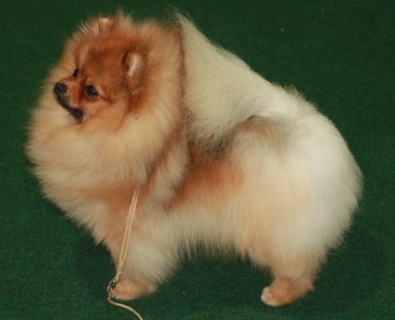 Zwergspitz Magic Dancer of Majas Pomeranianworld